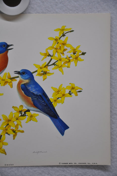 Bluebird on Forsythia Rudolf Freund Birds Lithograph Art Print 6 x 8   - TvMovieCards.com