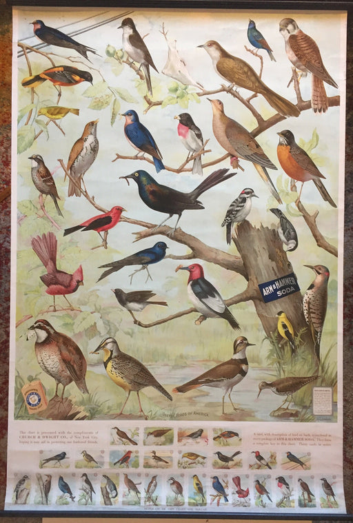 Useful Birds of America Advertising Store Display Poster Arm & Hammer J5   - TvMovieCards.com