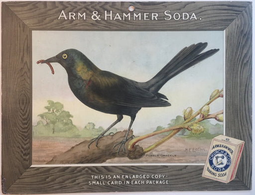 Birds - Arm & Hammer Advertising Store Display Card Sign - Purple Grackle J5   - TvMovieCards.com