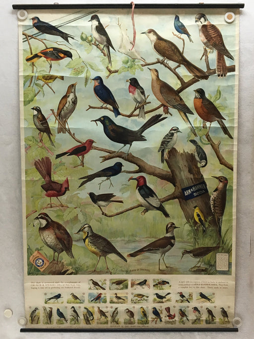 Useful Birds of America Advertising Store Display Poster Arm & Hammer J5