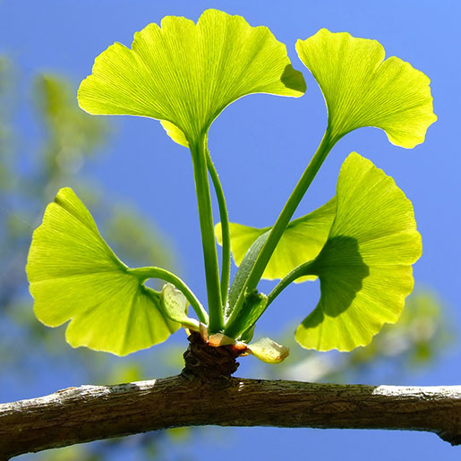 Guide to Ginkgo Biloba - Benefits, Best Type, Dosage and Side Effects