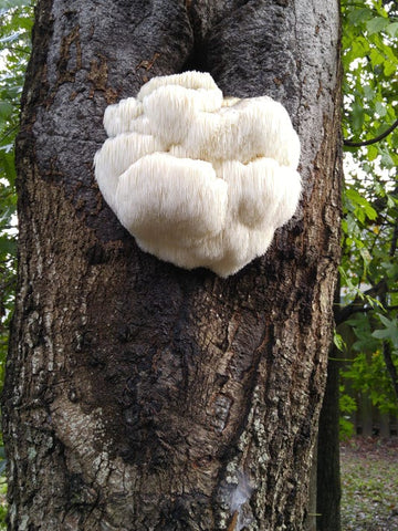 A Lions Mane mushroom fruiting body growing naturally on a tree trunk