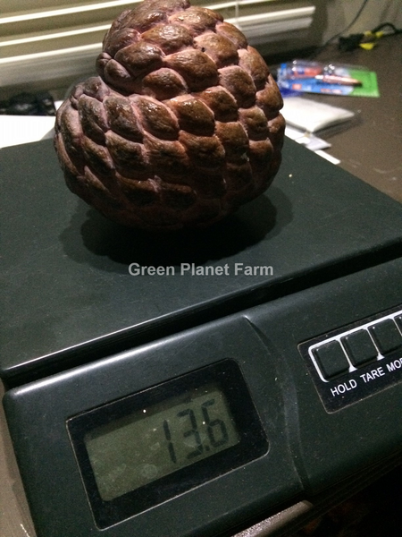 Thai Purple chewy sugar apple seeds - A. squamosa 'Isan Indigo'
