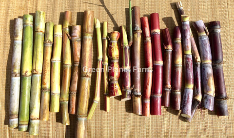 Sugar Cane Multi Variety Pack of 4