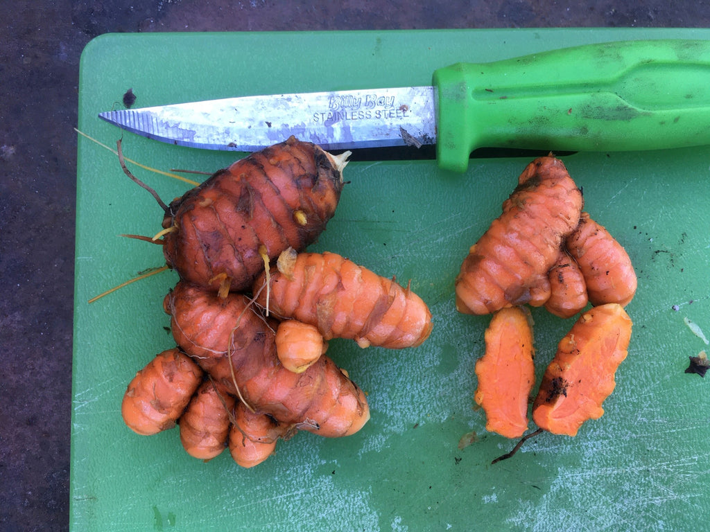hawaiian red turmeric curcuma longa