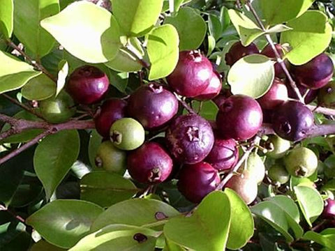 Purple Forest Guava Seeds- Psidium eugeniaefolia