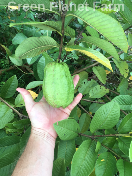 White Pear Guava Seeds - Psidium guajava