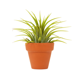 1 Ionantha Air Plant with Terra Cotta - Small