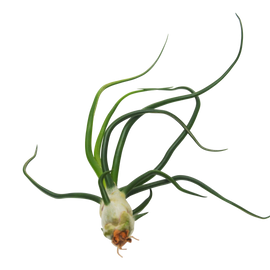 11pcs Air Plant Variety Pack with Fertilizer Spray