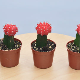"3 Graft Cactus Succulent 'Red' - 3"" Pot"