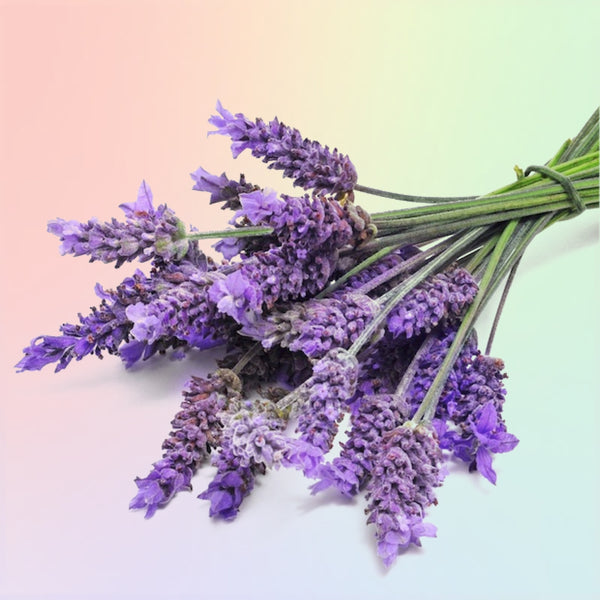 Lavender Scented Oil for Slime