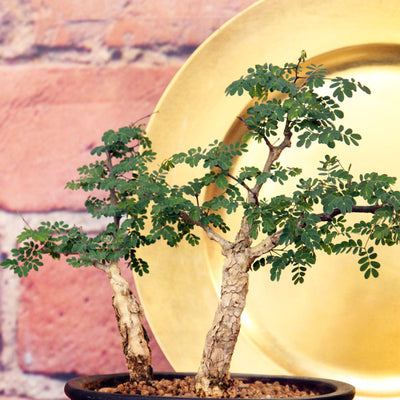 Bonsai Acacia Small