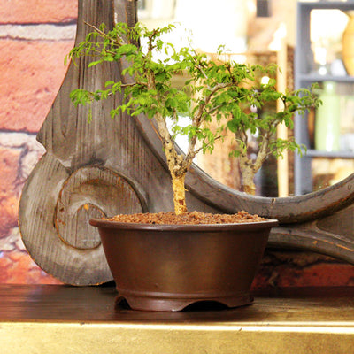 Bonsai Acacia Medium