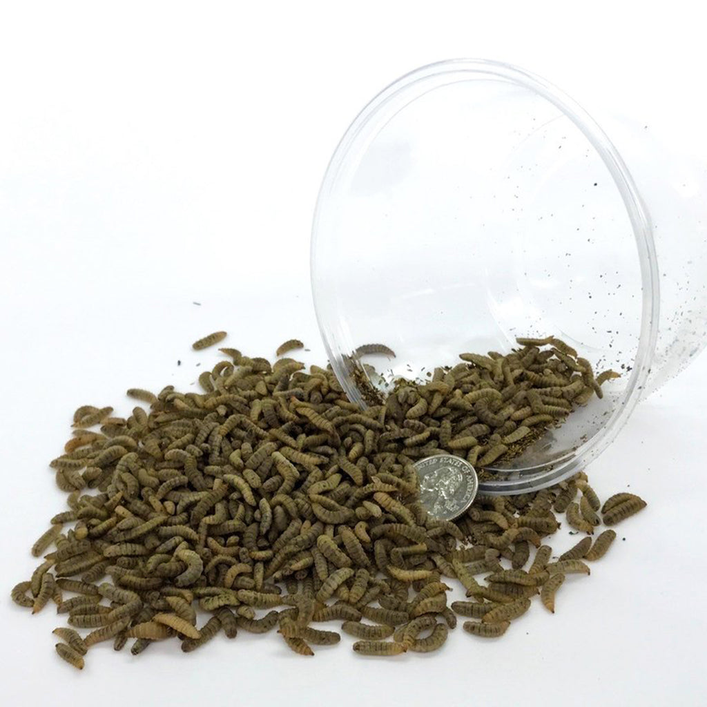 Medium Feeding-Grade Black Soldier Fly Larvae