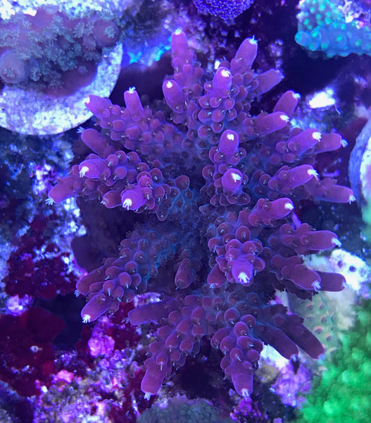 SPS - Reef Raft (rr) Red Diablo