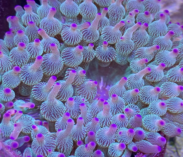 Aquacultured WYSIWYG Purple Rain bubble tip (BTA) Anemone