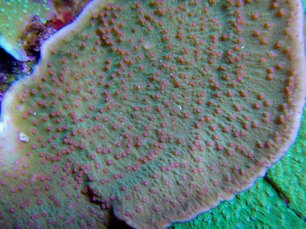 SPS - Booms Red Polyp Montipora Capricornis