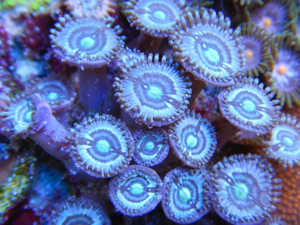 Booms baby blue zoas
