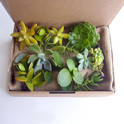 Succulents Gift Box