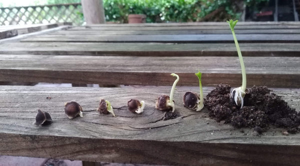 moringa germination stages