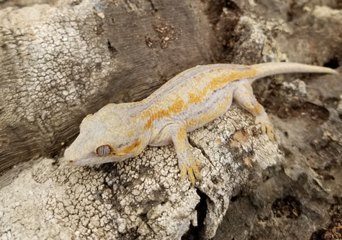 Orange Stripe Line- Unsexed Gargoyle Gecko
