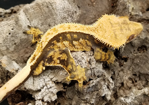 High Contrast Male Crested Gecko
