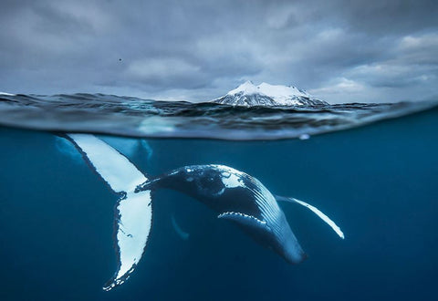 Whale in the Arctic Sea