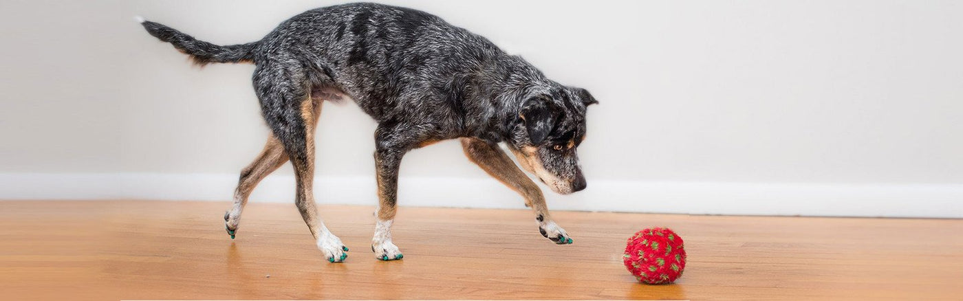 Buy Toegrips To Keep Your Dog From Slipping On Hard Floors