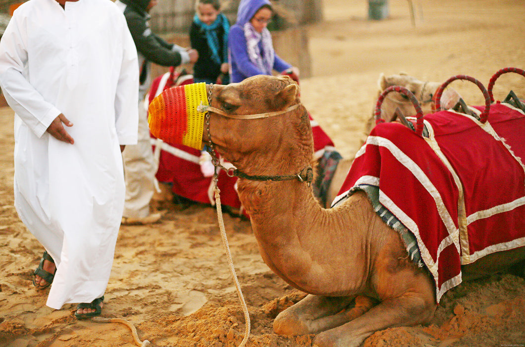 camel riding in dubai, best camel riding
