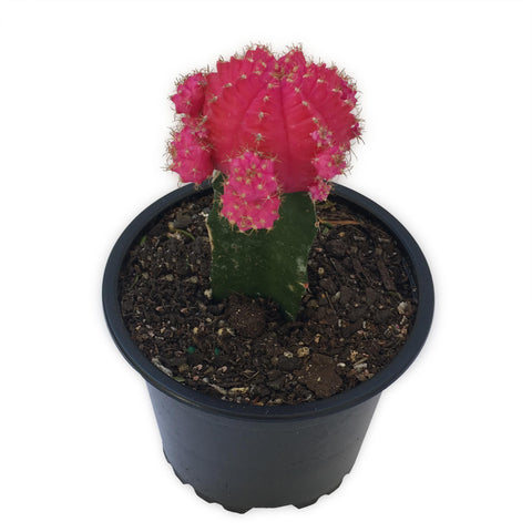 Grafted cactus Pink