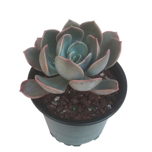 Echeveria Lilacaina Garotto