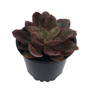 Echeveria Painted Frills - Succulents For Sale Online