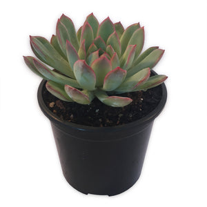 Echeveria Pink Edge Succulent With Grey Blue and Pink Leaves