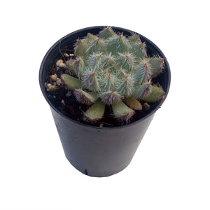 echeveria setosa var. minor