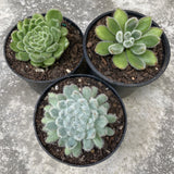 Fuzzy Echeveria Combo Deal