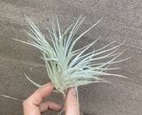 Tillandsia Combo Deal