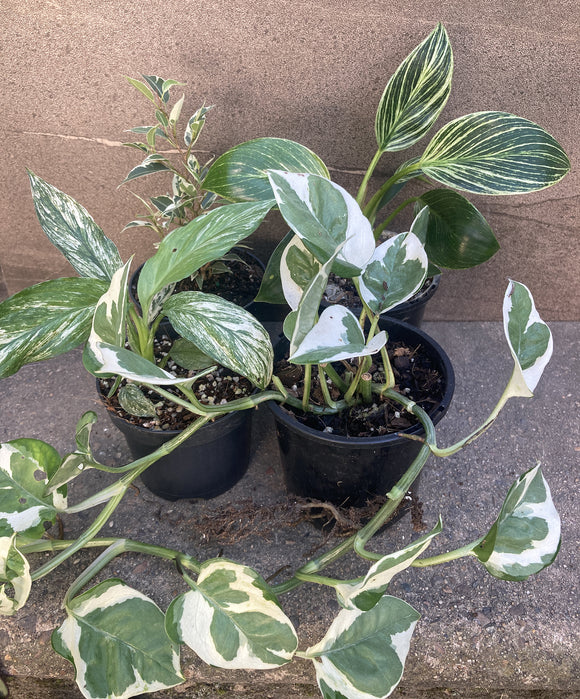 White & Green Indoor Plants Combo Deal