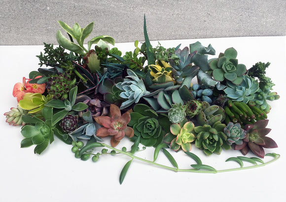 50 Succulent Cuttings Combo Deal