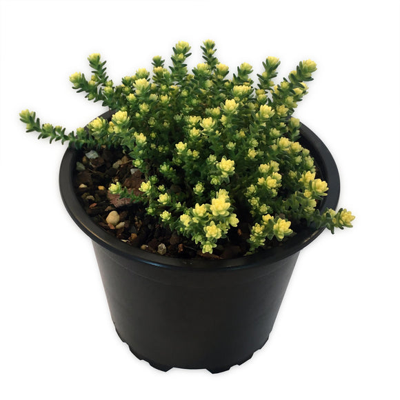 Sedum Acre ground cover succulent with lime green leaves