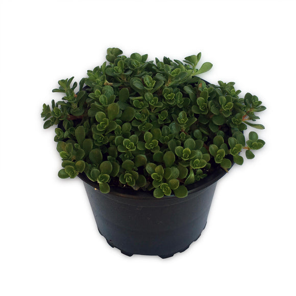 Sedum Green Mound dense growing green succulent