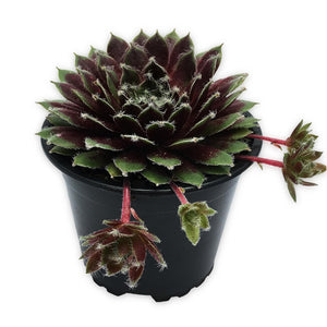 Sempervivum Winter Red Hen and Chicks Houseleek Succulent