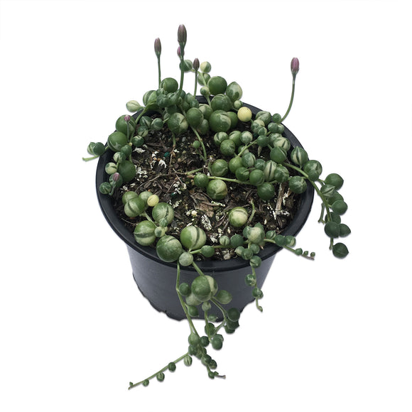 Senecio Rowleyanus Variegata 'Variegated String of Pearls'