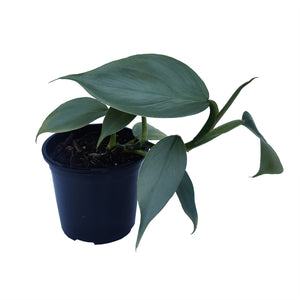 Philodendron Hastatum 'Silver Sword'