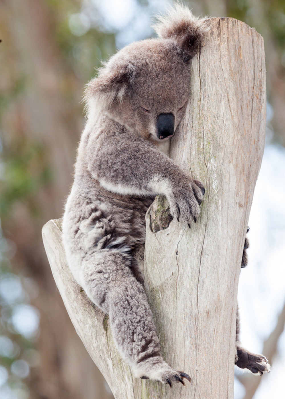 koala sleeping on a tree