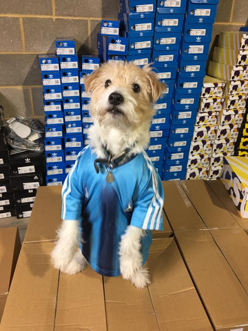 Jack Russell Wearing Football Kit