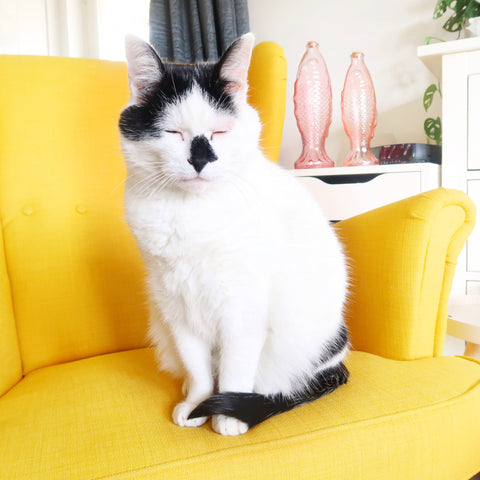 Black and white cat on a yellow chair