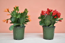 Spring (Easter) Cactus