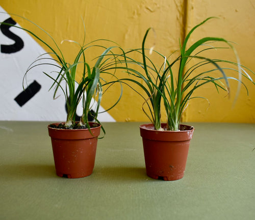 Two small ponytail palm house plants in brown plastic grow pots in front of a black, white, and gold painted background.