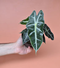 Hand holding Alocasia Amazonica 'Polly' in plastic grow pot in front of pink background.