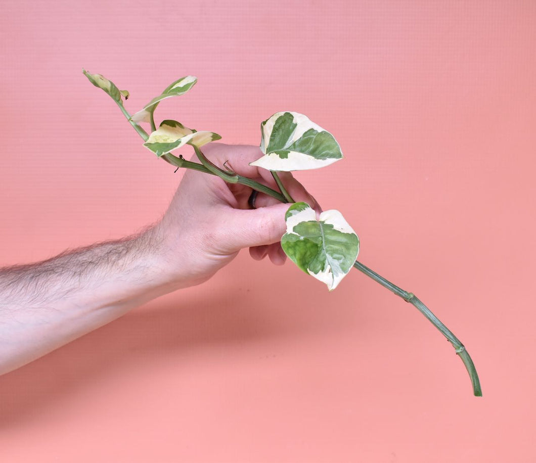 A man's hand holding a plant cutting of a Pothos 'Pearls and Jade